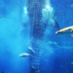 美ら海水族館(ちゅらうみすいぞくかん)ジンベエザメの食事タイム