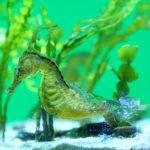 美ら海水族館(ちゅらうみすいぞくかん) たつのおとしご