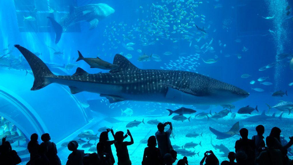 美ら海水族館(ちゅらうみすいぞくかん)のジンベエザメ