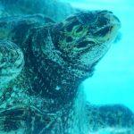 美ら海水族館(ちゅらうみすいぞくかん)ウミガメ