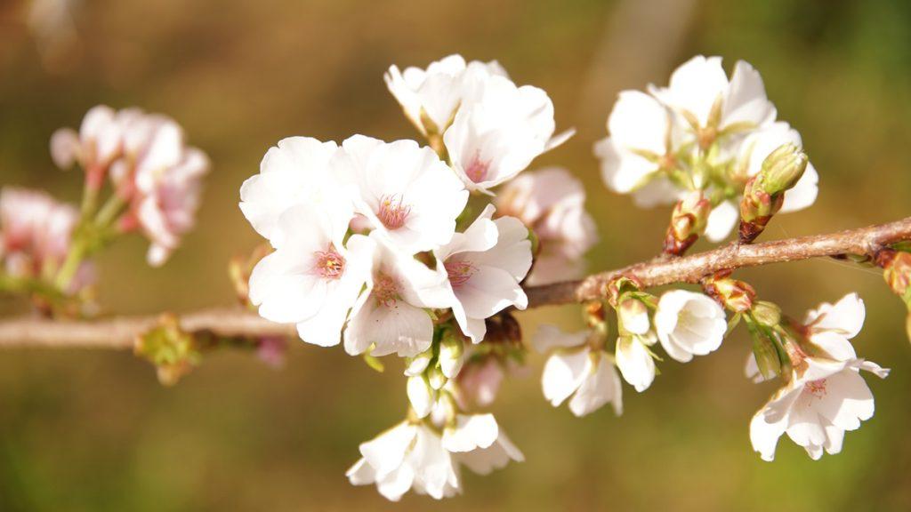 幻の桜・クメノサクラ