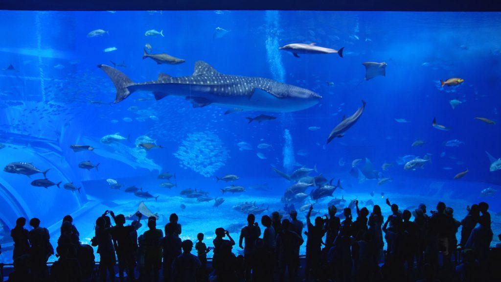 美ら海水族館のジンベエザメ