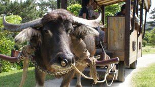 ビオスの丘(びおすのおか)の水牛
