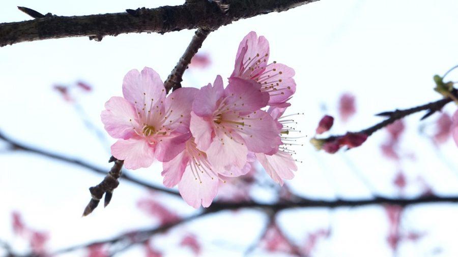 沖縄の桜 寒緋桜(カンヒザクラ)
