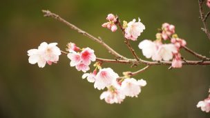 沖縄の桜 寒緋桜(ヒカンザクラ)