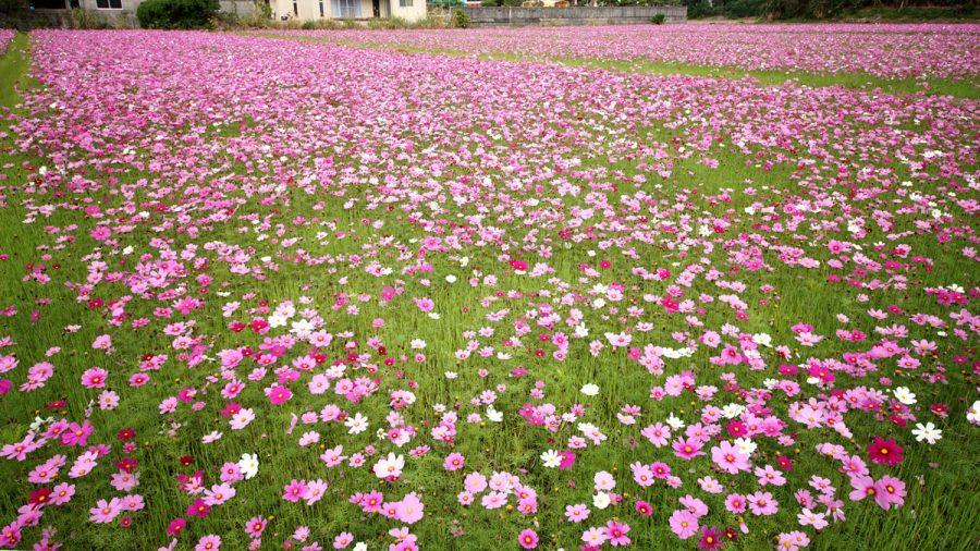名護市のコスモスの畑の花(なごのこすもすばたけ)
