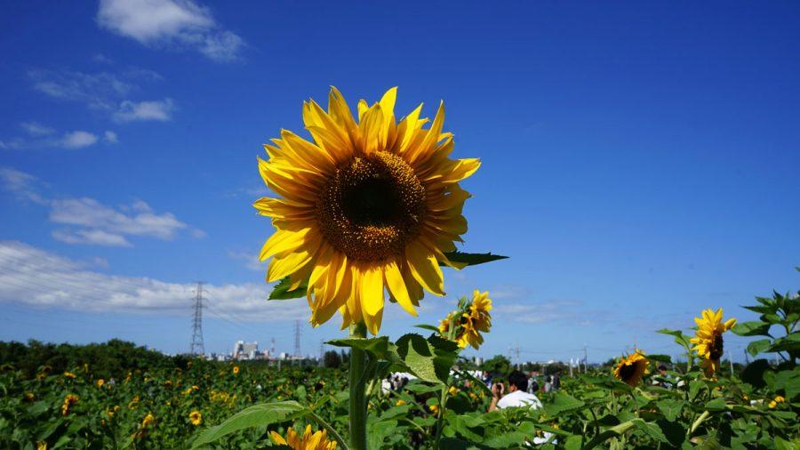 ひまわり IN 北中城黄色い花