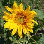 ひまわり IN 北中城(ひまわりいんきたなかぐすく)とミツバチ