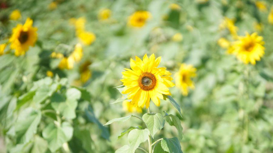 ひまわり IN 北中城(ひまわりいんきたなかぐすく)ひまわりの花々