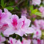 東村つつじ祭り(ひがしそんつつじまつり)つつじの花