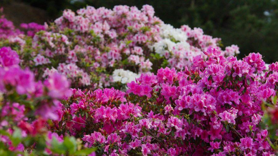 第36回東村つつじ祭り(ひがしそんつつじまつり)つつじ赤い花
