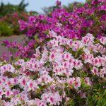 第36回東村つつじ祭り(ひがしそんつつじまつり)ピンクの花