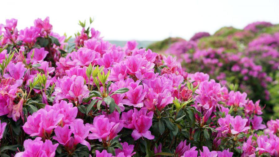 第36回東村つつじ祭り(ひがしそんつつじまつり)つつじ花々