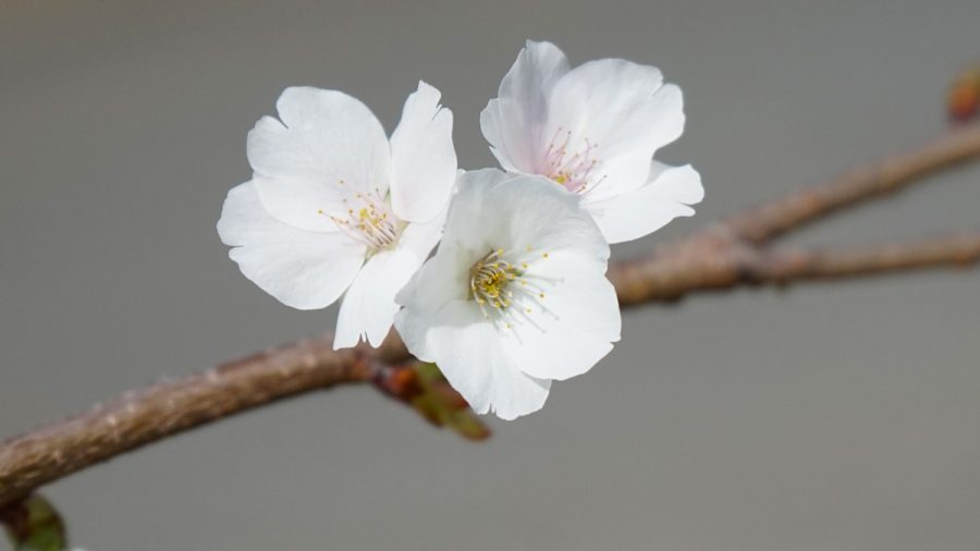 本部町伊豆味・クメノサクラ(くめのさくら)白い花
