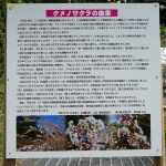本部町伊豆味・クメノサクラ(くめのさくら)案内版