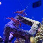 沖縄美ら海水族館(おきなわちゅらうみすいぞくかん)海老(えび)