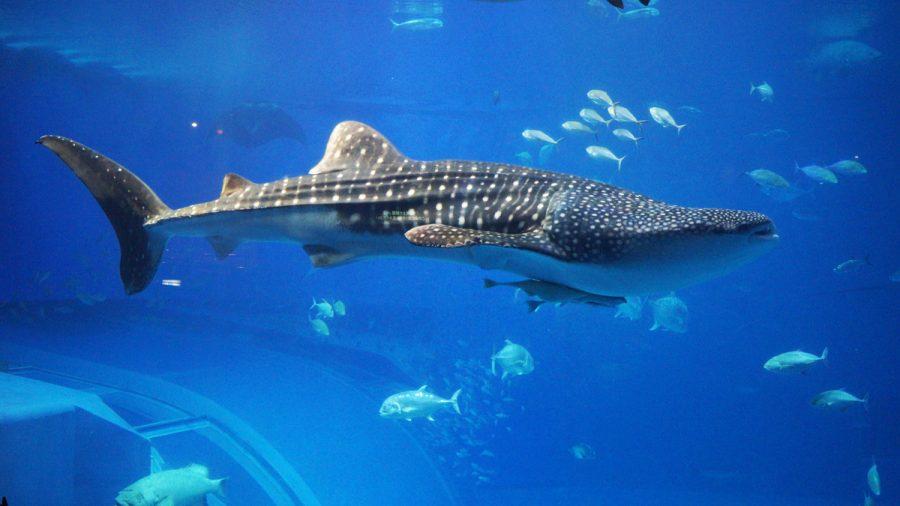 沖縄美ら海水族館(おきなわちゅらうみすいぞくかん)ジンベエザメ