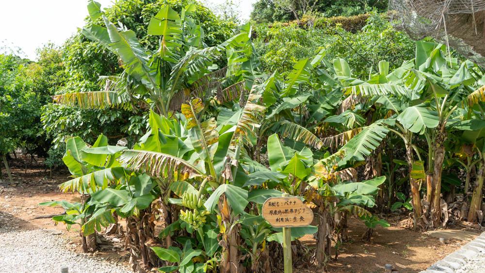 フルーツ園 バナナ