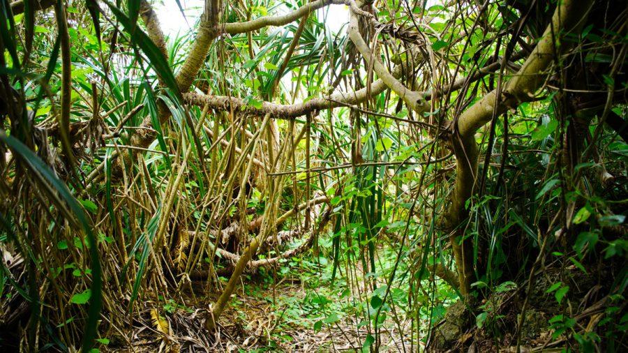 古宇利島のスルル洞のアダンの木