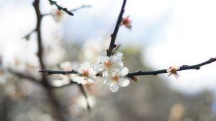 オーシッタイ 梅の並木(うめのなみき)