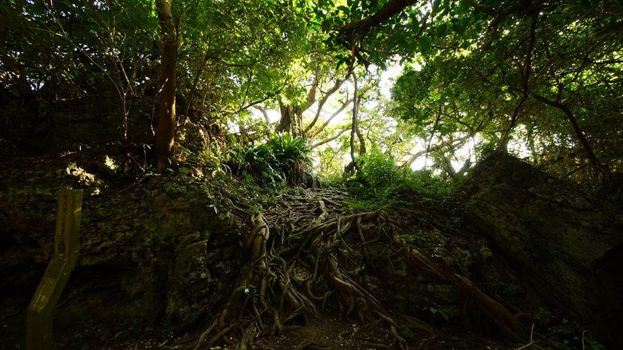 浜川御嶽(はまがわうたき)にある自然の根