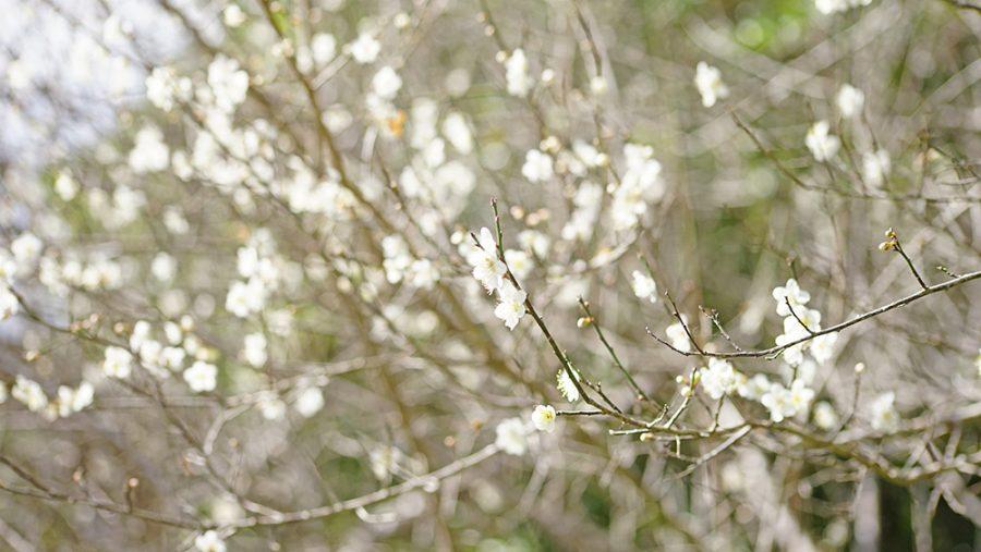大湿帯 オーシッタイ梅並木 うめなみき